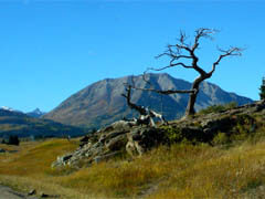 2500 year old Burmis Tree in the Crowsnest Pass