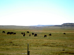 Buffalo Herd at Head-Smashed-In