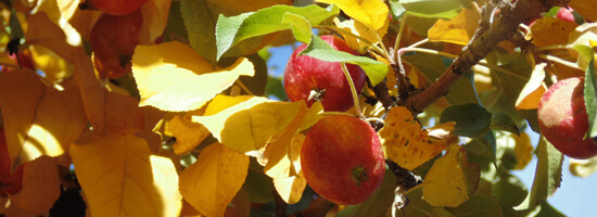 Fall Apples close to harvest