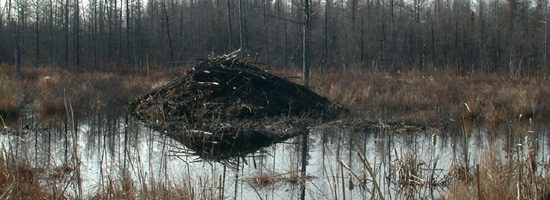 Beaver lodge alnog the Trans-Canada