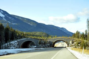 Animal Bridges along the Trans-Canad Highway in Banff National Park