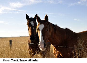 Horses east of Medicine Hat