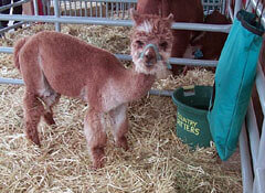 Alpaca baby in barn