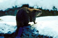 The beaver is both Canada's national symbol but a valuable renewable fur resource