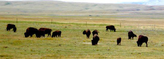 herd of Buffalo in Southern Alberta