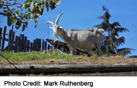 See goats on the root at tourist town of Coombs, near Parksville