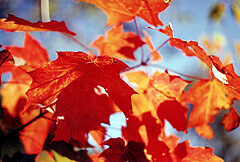 Fall maple leaves, close-up