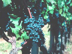 Grapes gwoing in Prince Edward County