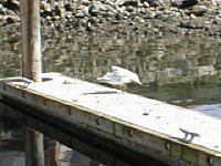 Gull on dock in Vcitoria