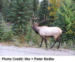 Many wild creatures can be seen in and around Jasper