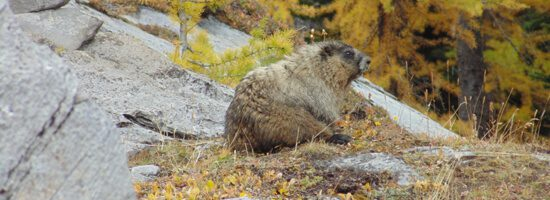 Wild marmot in the Rocky Mountains