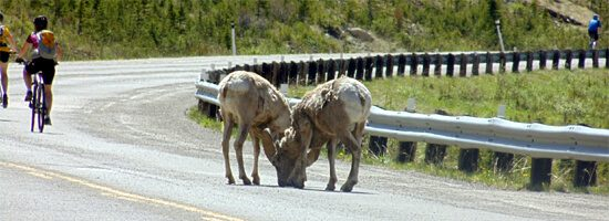 Mountain Goats On Highway