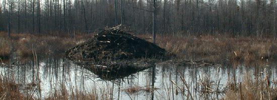 Beaver lodge alnog the Trans-Canada