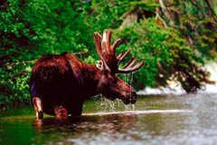 Moose are large animals, that require fencing to protect cars