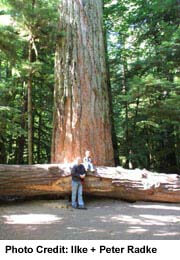 See old growth forests at MacMillan Provincial Park