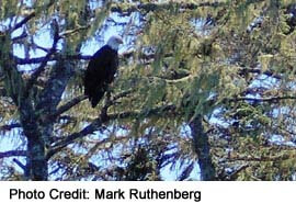 Bald Eagles in their natural nesting habitat