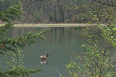 Elk cow on Vermillion Lakes