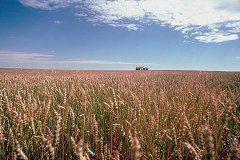 Ripe Wheat Crop, north of Regina
