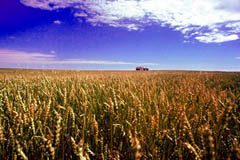 Wheat is the major crop in Manitoba