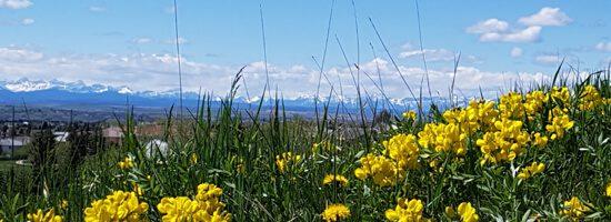 Wildflowers In a Calgary Meadow