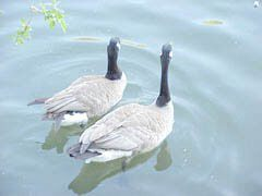 Canada Goose couple floating on pond