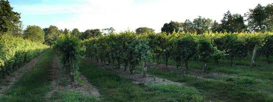 Niagara on the Lake's winery with vines (the area is legendary for its ice wines)