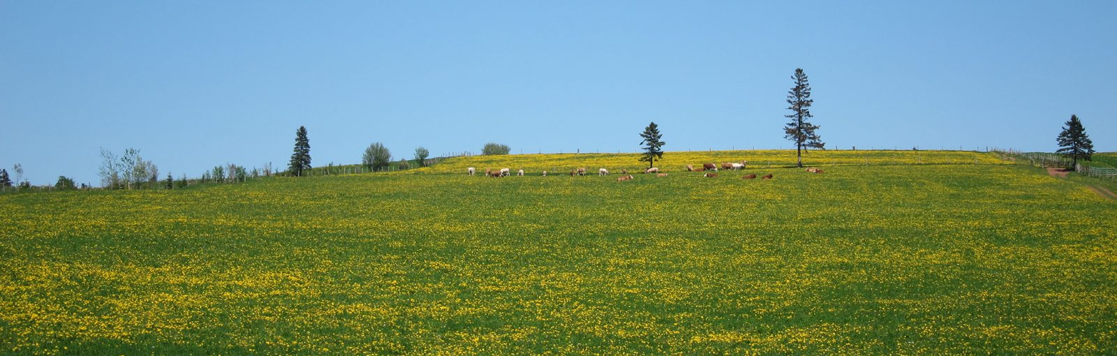 Nova Scotia Field with flowers and cows-sliver