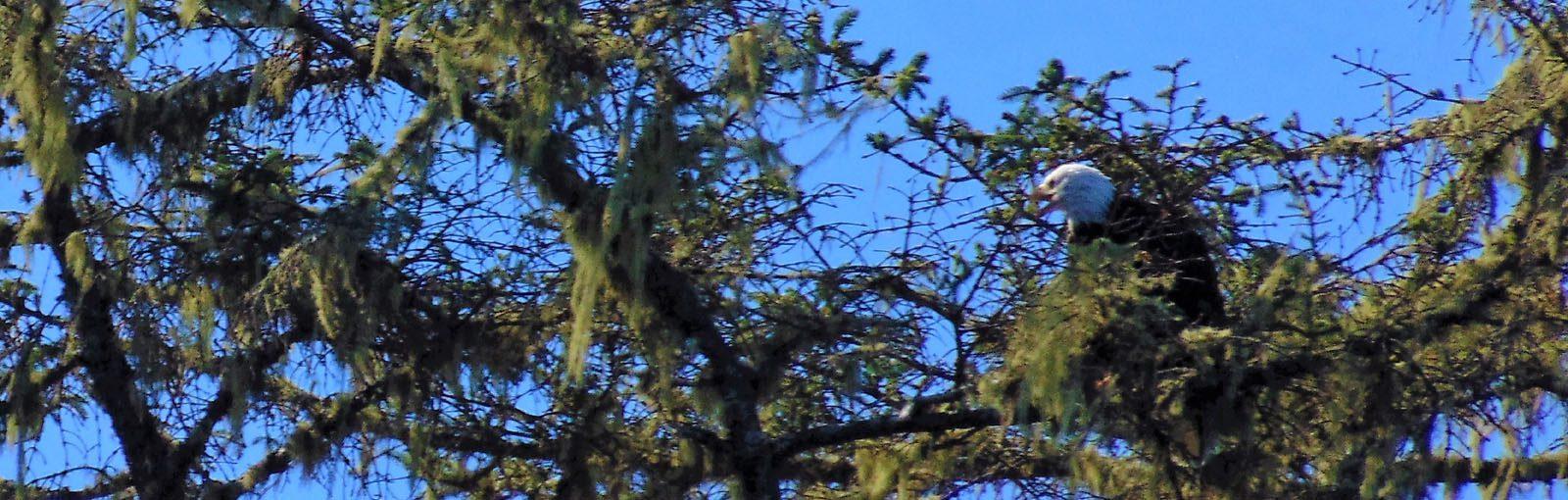 Bald Eagle in tree - Tofino