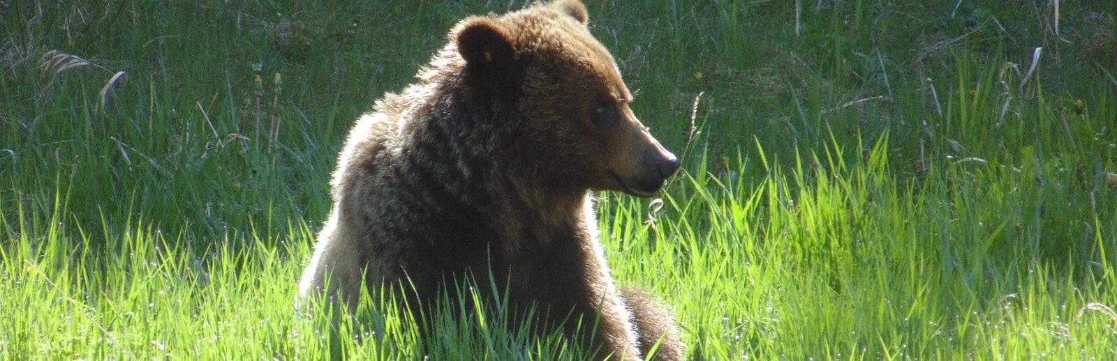 Grizzly Bear - Kananaskis Country